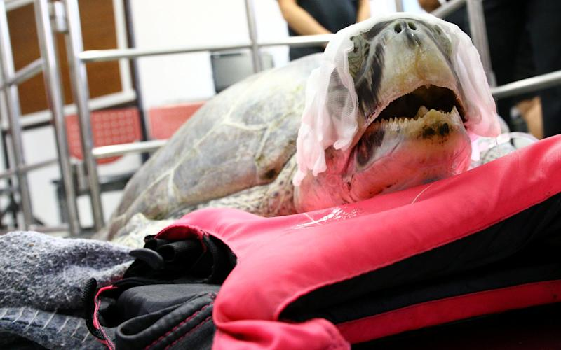 The turtle was thought to be recovering well - Credit: Reuters