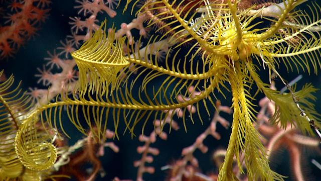 <p>A close-up of a crinoid illustrates the pinnules on the long arms used to filter food from the water. (Photo: Northeast Canyons 2013 Science Team/NOAA Okeanos Explorer Program) </p>