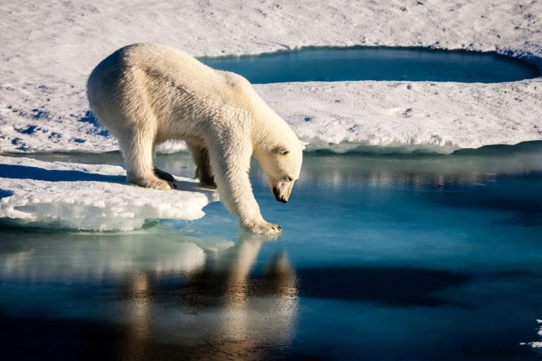 A handout photo provided by the European Geosciences Union in 2016 shows an undated photo of a polar bear testing the strength of thin sea ice in the Arctic; US data showed that polar sea ice coverage continued its downward trend in 2019