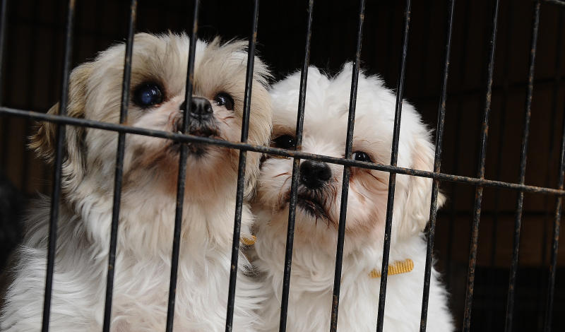 These two Shih Tzus were rescued from a puppy mill and brought to the Toronto Humane Society in 2013. (Colin McConnell/Toronto Star via Getty Images)