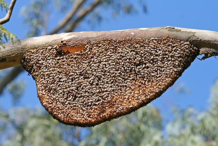 An exposed comb hive hanging from a tree branch.