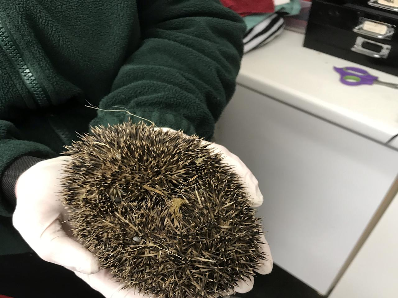 The hedgehog was rescued by a passerby and later taken to the Leicestershire Wildlife Hospital . (SWNS)
