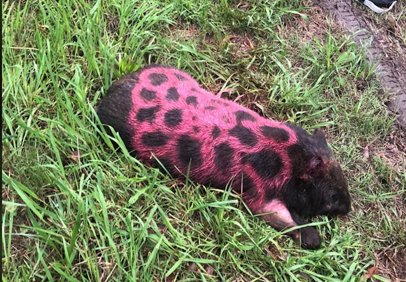 The wombat spray-painted to show it had been checked by a wildlife rescuer. Source: Waratah Wildlife Shelter