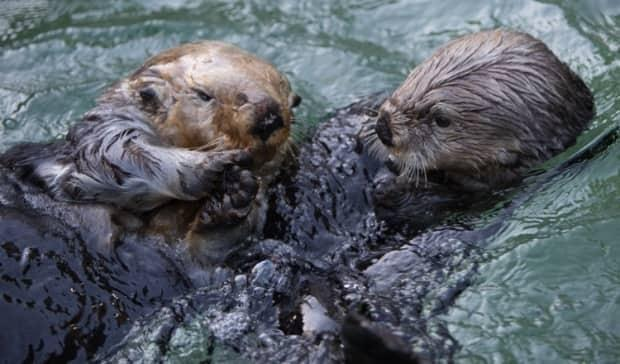 The otters at the Vancouver Aquarium have always been popular, but the success of these cute mammals has reached new heights on Twitch. (Vancouver Aquarium - image credit)