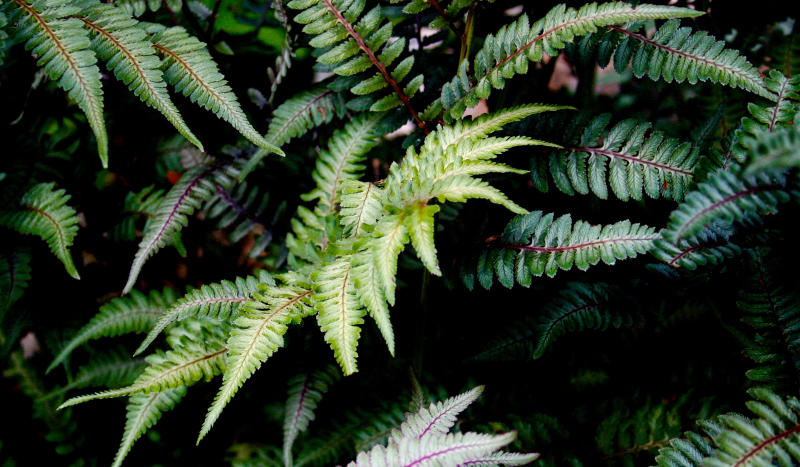 This Sept. 22, 2007 photo shows painted Japanese ferns growing near a home in New Market, Va. Their blue-green fronds with contrasting deep red ribs complement the monochromatic palette of a restive all-green garden. (Dean Fosdick via AP)