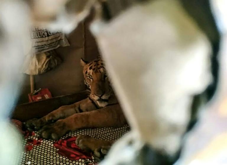 A tiger seeking refuge from flooding in India's Kaziranga National Park startled residents when it took shelter on a daybed in a shophouse in Assam state (AFP Photo/Handout)