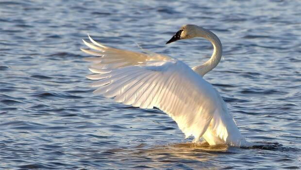 Trumpeter swans are the largest species of water foul in North America. They nearly went extinct in the 1890s until habitat protection and relocation projects allowed them to recover in Western Canada and Ontario, says conservation biologist Dan Kraus.