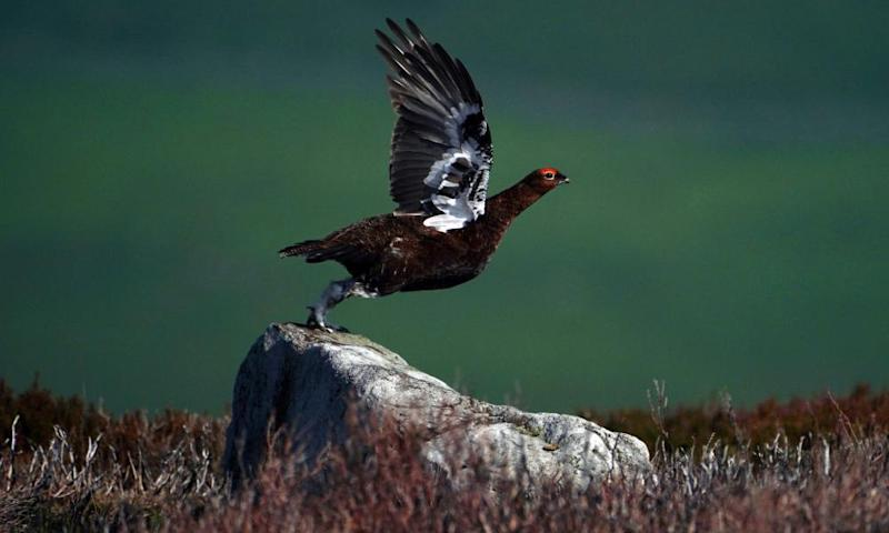 Activists sue ministers over release of game birds for shooting