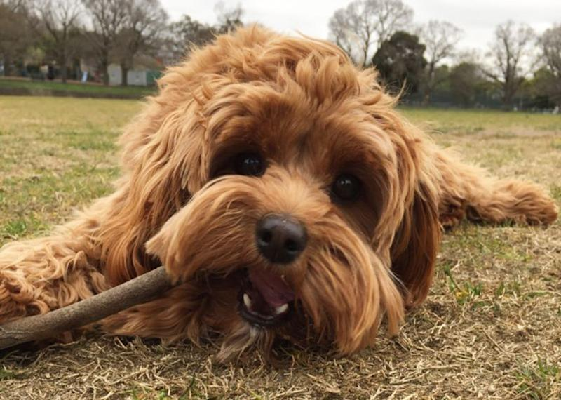 3AW radio host Stephen Quartermain's cavoodle puppy dog fights, kills, tiger snake in Melbourne.