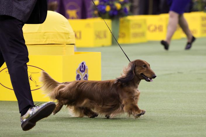 """Walmar-Solo's OMG,"" a long-haired dachshund, won first in the hound group at the 143rd Westminster Kennel Club Dog Show, Feb. 11, 2019. (Photo: Caitlin Ochs/Reuters)"