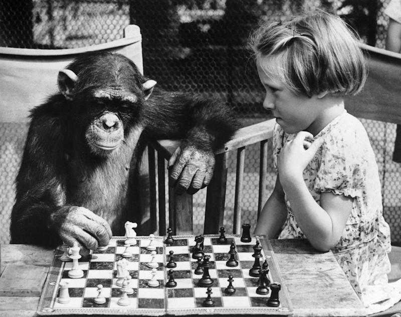 Who knows when chimpanzees will master chess, Cluedo or Settlers of Catan (Getty)
