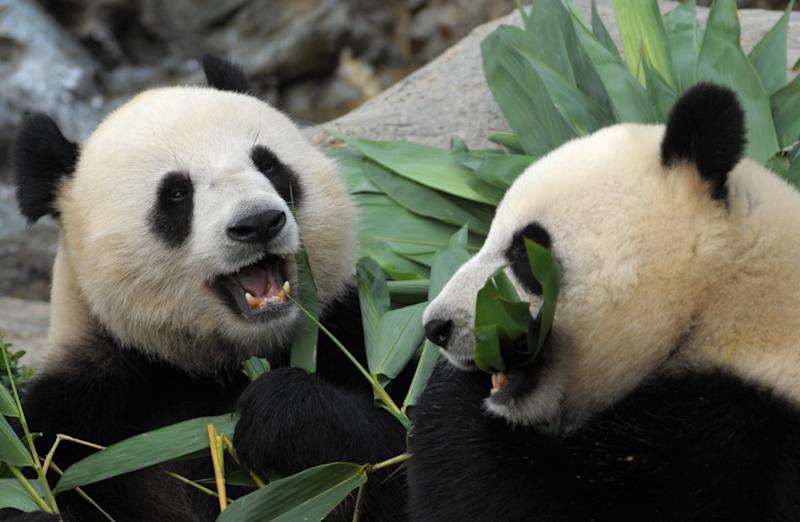 Giant Pandas Le Le (L) and Ying Ying (R) chew on bamboo shoots on their joint fourth birthday at Ocean Park in Hong Kong on August 9, 2009.