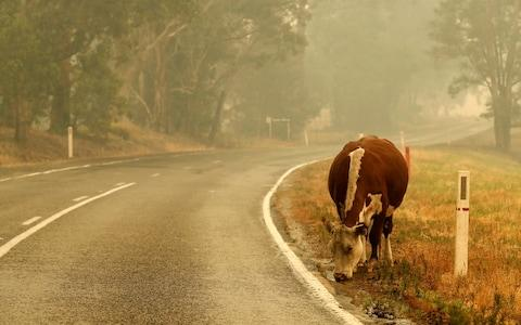 With fire damaged fences cattle wander on to the road - Credit: Darrian Traynor/Getty Images