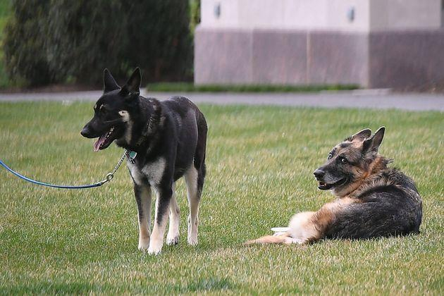 Champ (right) and Major on the South Lawn of the White House in Washington, D.C., in March 2021. (Photo: MANDEL NGAN via Getty Images)