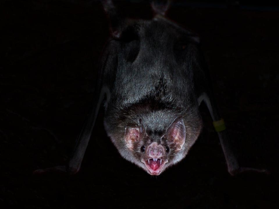 Vampire bats have fewer social interactions when ill, new research shows (Getty)