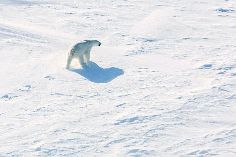 One expert believes that if the ice-free period increases, polars will likely migrat to northern Canada, and those who stay will eventually be killed off