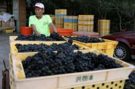 Hung Chi-pei, 72, the owner of the grape farm transport the harvest grapes at Shu Sheng Leisure Domaine in Taichung,