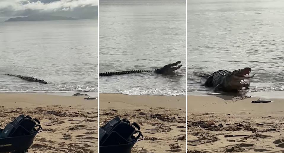 a large crocodile swims up to a beach in North Queensland to steal a fish that had just been caught.