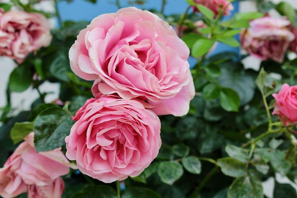 <p>Not only is the rose the official flower of New York, which it became in 1955, but it's also the official rose of the United States.<br></p>