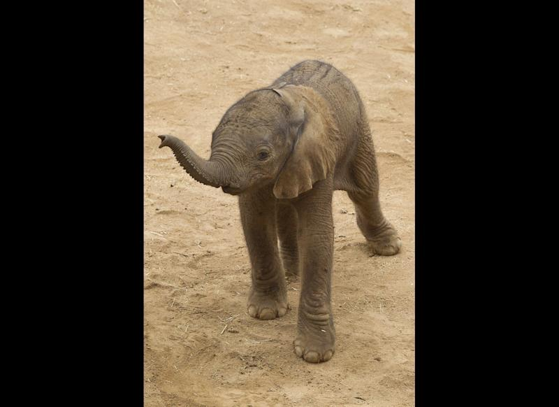 A newborn African elephant lifted his trunk in search of his mother at the San Diego Zoo Safari Park. In this rare moment, the calf stood alone after he had wandered off a few steps, but shortly thereafter, his mother, 5-year-old sister Khosi (koh-see), and 2-year-old brother Ingadze (in-Gahd-zee) rushed over to tend to the unnamed calf. The Safari Park is now home to 18 elephants (eight adults and 10 youngsters).