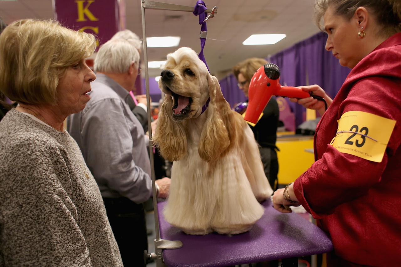 NEW YORK, NY - FEBRUARY 12:  Stacy Dohmeier (R), blow dries Tucker, an A.S.C.O.B Cocker Spaniel at the 137th Westminster Kennel Club Dog Show on February 12, 2013 in New York City. Best of breed dogs were to compete for Best in Show at Madison Square Garden Tuesday night. A total of 2,721 dogs from 187 breeds and varieties competed in the event, hailed by organizers as the second oldest sporting competition in America, after the Kentucky Derby. (Photo by John Moore/Getty Images)
