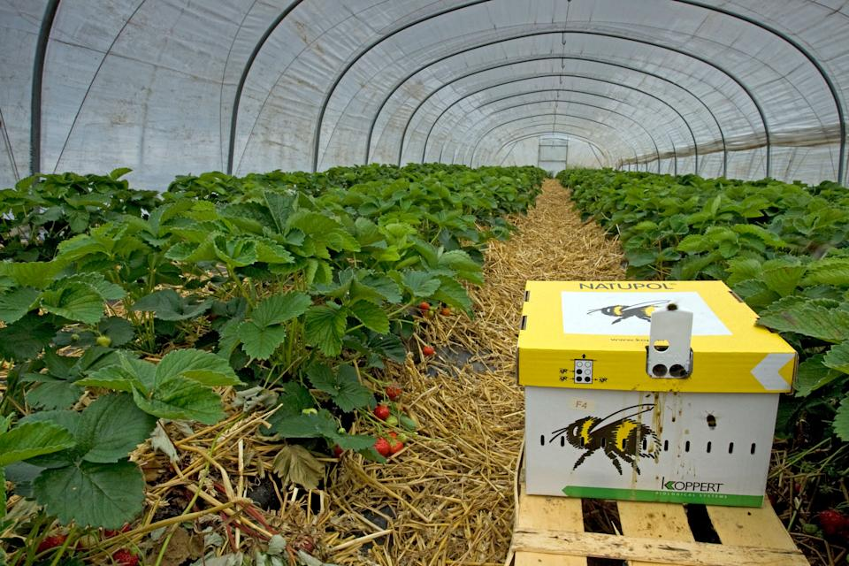 A cardboard beehive with earth bumblebees is ready for the pollination of strawberries in greenhouse. (Photo: Arterra/Universal Images Group via Getty Images)