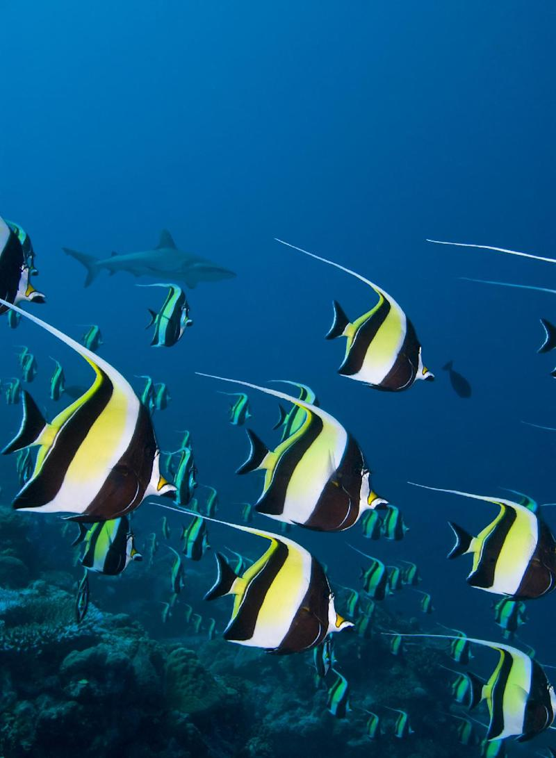 Moorish Idols are seen swimming in large schools to spawn in the Ulong Channel, in the small Pacific island nation of Palau, August 27, 2014