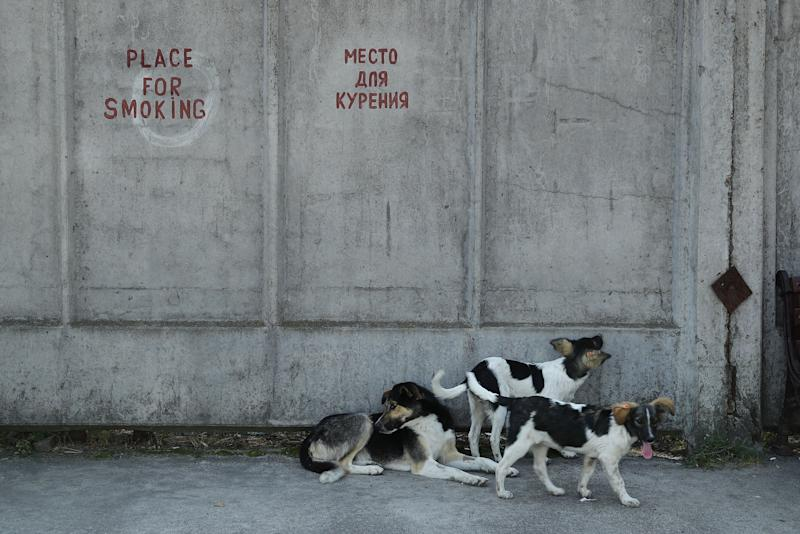Tagged, stray dogs lounge outside a cafeteria at the Chernobyl nuclear power plant on August 19, 2017.