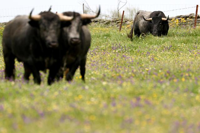Fighting bulls from Victorino Martin ranch grace in Portezuelo, Spain, April 23, 2018. Picture taken on April 23, 2018. REUTERS/Sergio Perez