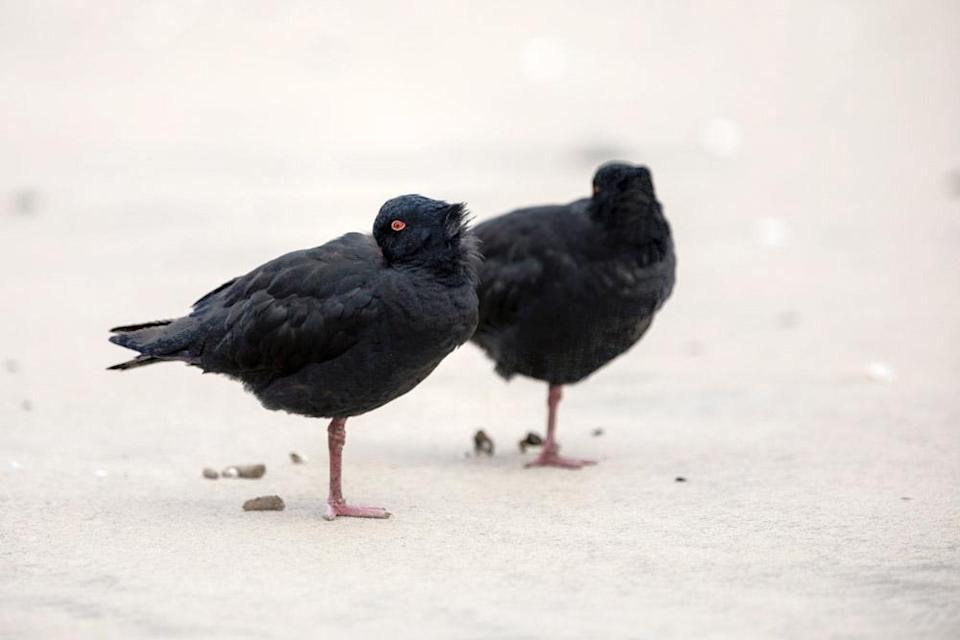 A pair of oystercatchers resting on the beach.