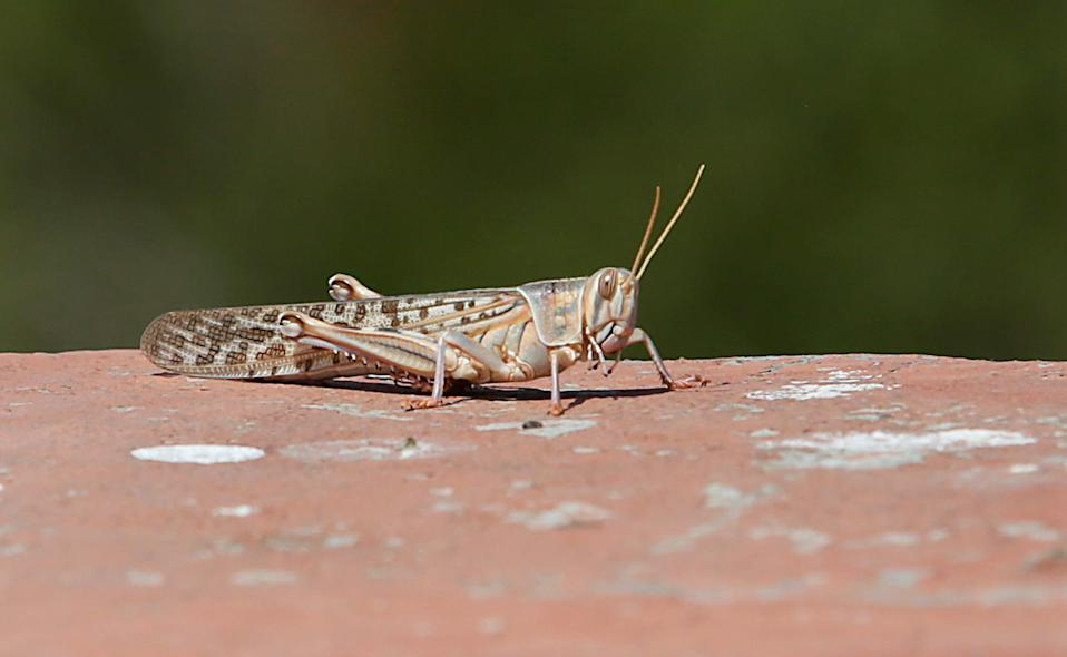JAIPUR, INDIA - MAY 25: A closeup of a locust spotted around apartments near the Railway Station on May 25, 2020 in Jaipur, India. The Food and Agricultural Organization of the United Nations in its latest locust bulletin on May 21 said the insects spring breeding has continued in Iran and southwest Pakistan and that they will be moving to the India-Pakistan border till at least early July. Already 38,308 hectares in 22 out of 33 districts of Rajasthan are under locust attack, according to the state government. They have reached as far as Madhya Pradesh and Uttar Pradesh, after entering from Pakistan in April. (Photo by Himanshu Vyas/Hindustan Times via Getty Images)