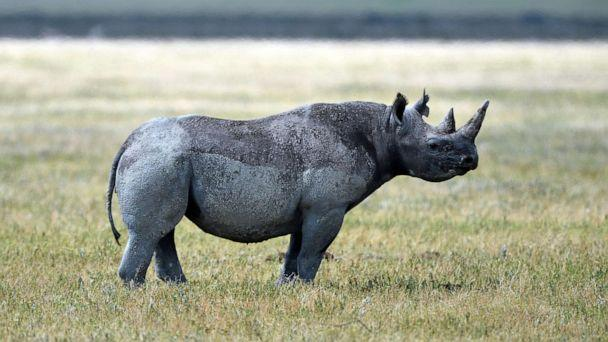 PHOTO: A black rhino is pictured in Ngorongoro crater Conservation Area of Southern Serengeti National Park in Arusha Region, Tanzania, on August 25, 2019. (Emy/ABACA/Newscom)
