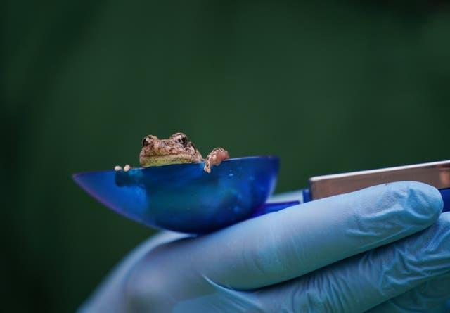 A midwife toad during the annual weigh-in at ZSL London Zoo