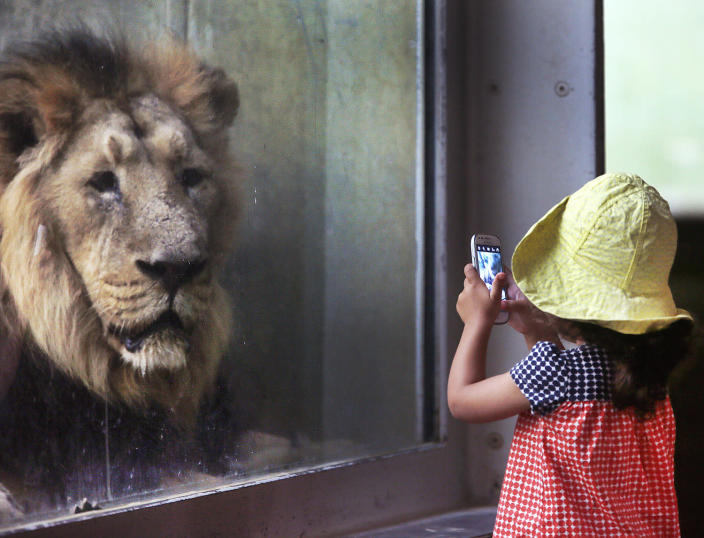 <p>A little girl takes a picture of a lion in the zoo in Frankfurt, Germany, Sept. 13, 2016. (AP Photo/Michael Probst) </p>