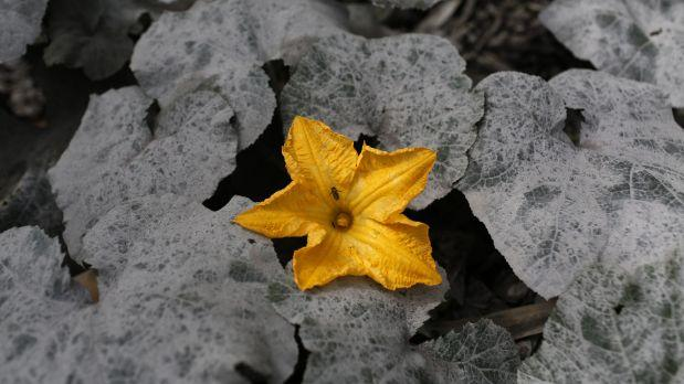 A single yellow flower blooms among grey ivy.