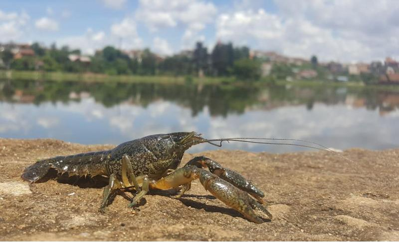 This mutant crayfish clones itself, and it's taking over Europe