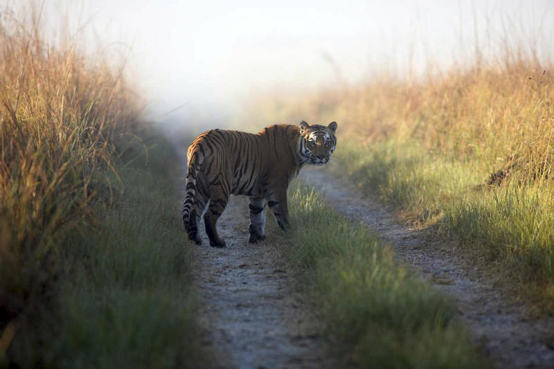 FILE - This undated file photo released by Corbett Tiger Reserve shows a tiger at the reserve in Corbett National Park, India. Maharashtra, a western Indian state, has declared war on animal poaching by sanctioning its forest guards to shoot hunters on sight in an effort to curb rampant attacks against tigers, elephants and other wildlife. About half of the world's estimated 3,200 tigers are in dozens of Indian reserves set up since the 1970s. (AP Photo/Corbett Tiger Reserve, File)