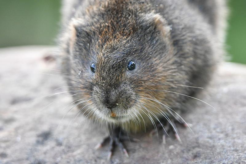 File photo dated 10/9/2018 of a water vole. A quarter of Britain's native mammal species, including red squirrels, wildcats and beavers, are at risk of extinction, a new assessment warns.