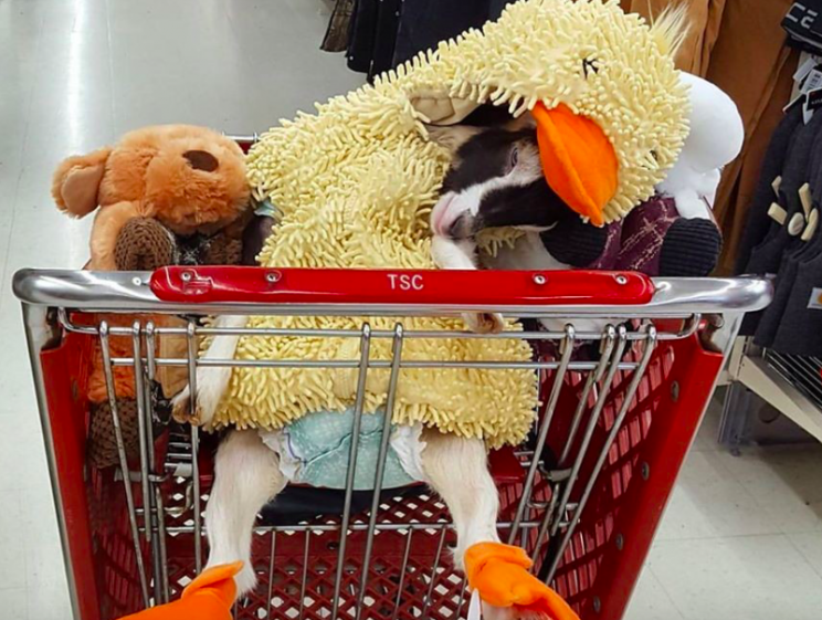 Dress-up: Polly calms down while wearing her duck costume (Goats of Anarchy)