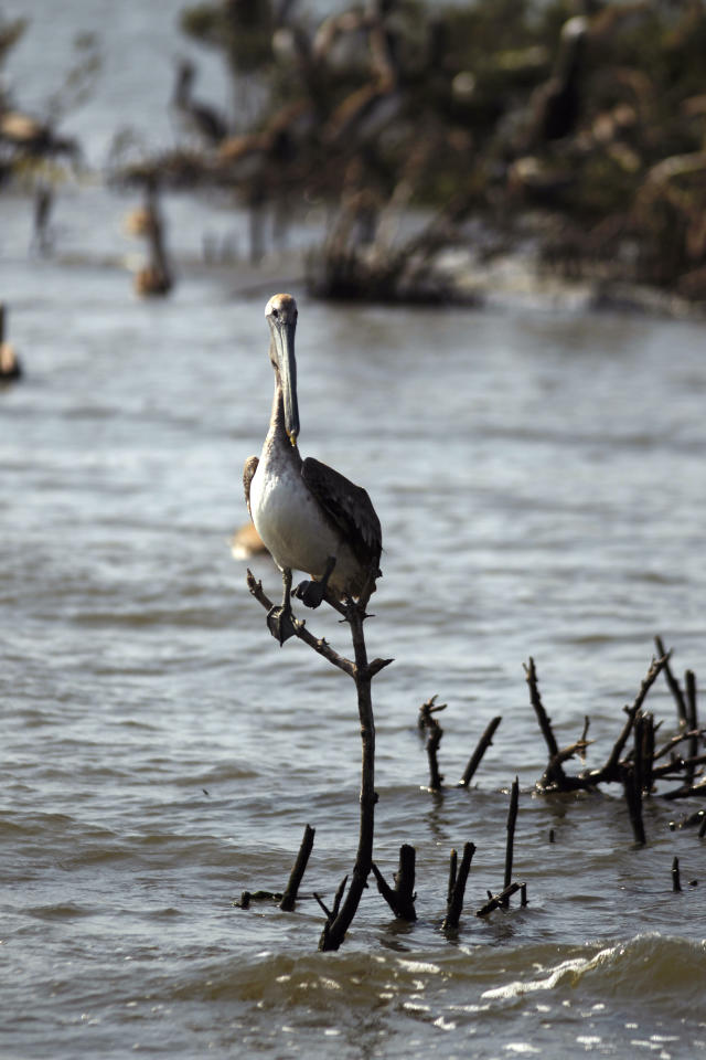 A pelican sits on a piece of dead mangrove near the eroding shoreline of Cat Island in Barataria Bay in Plaquemines Parish, La., Wednesday, April 11, 2012. (AP Photo/Gerald Herbert)
