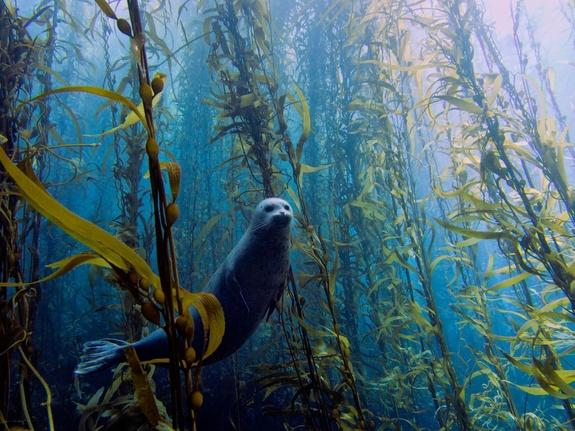A harbor seal floats amidst a kelp forest in this dreamy image shot off the coast near San Diego, Calif. This image took best overall in the University of Miami's Rosenstiel School of Marine and Atmospheric Science 2013 underwater photography c
