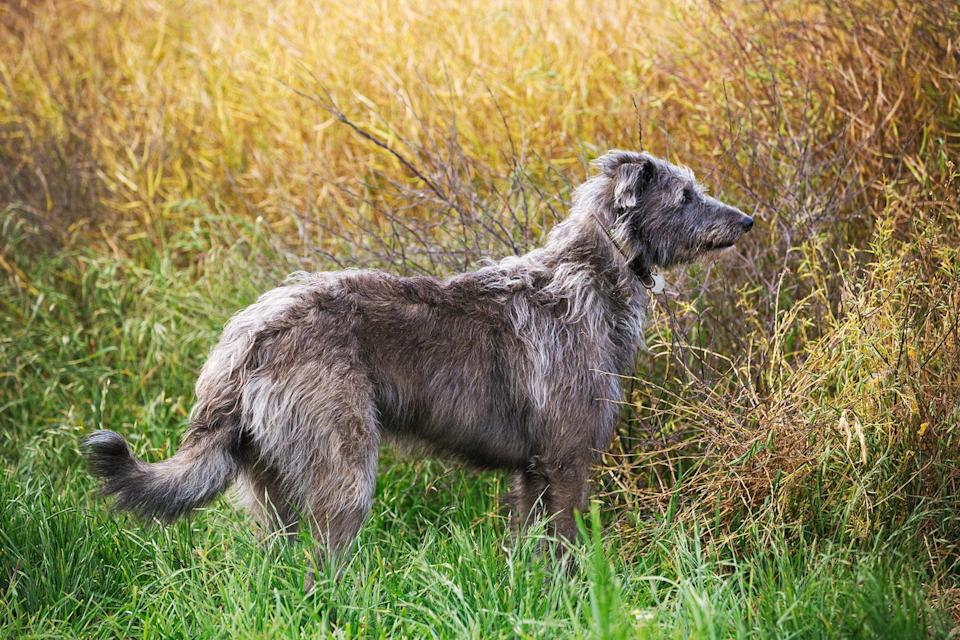 "<p>The <a href=""https://www.akc.org/dog-breeds/scottish-deerhound/"" rel=""nofollow noopener"" target=""_blank"" data-ylk=""slk:Scottish Deerhound"" class=""link rapid-noclick-resp"">Scottish Deerhound</a> is among the tallest of dog breeds, but their imposing height is no match for their noble personality. They're not ones to bark; they're simply happy doing what Deerhounds were bred to do—run for the sheer joy of running.</p>"