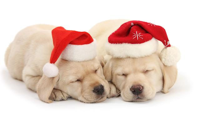 <p>Sleeping yellow Labrador retriever pups, 8 weeks old, wearing Father Christmas hats. (Photo: Warren Photographic/Caters News) </p>