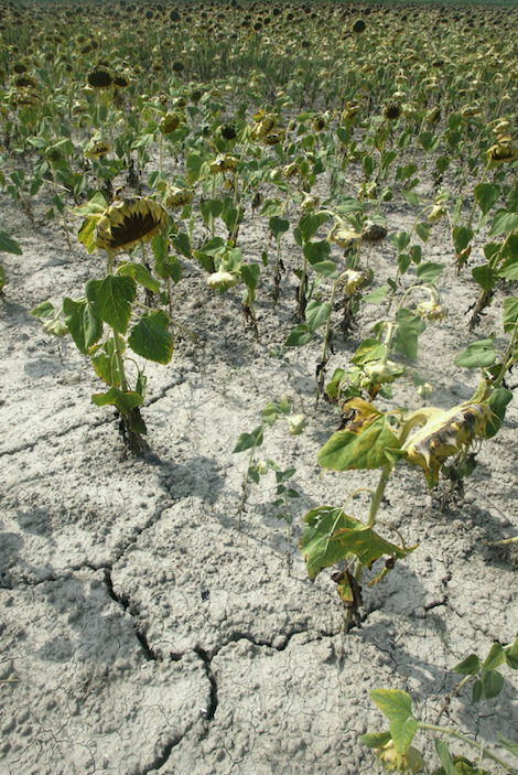 Sunflowers in the field in the region of Aramon became victims of the drought in France (Getty)