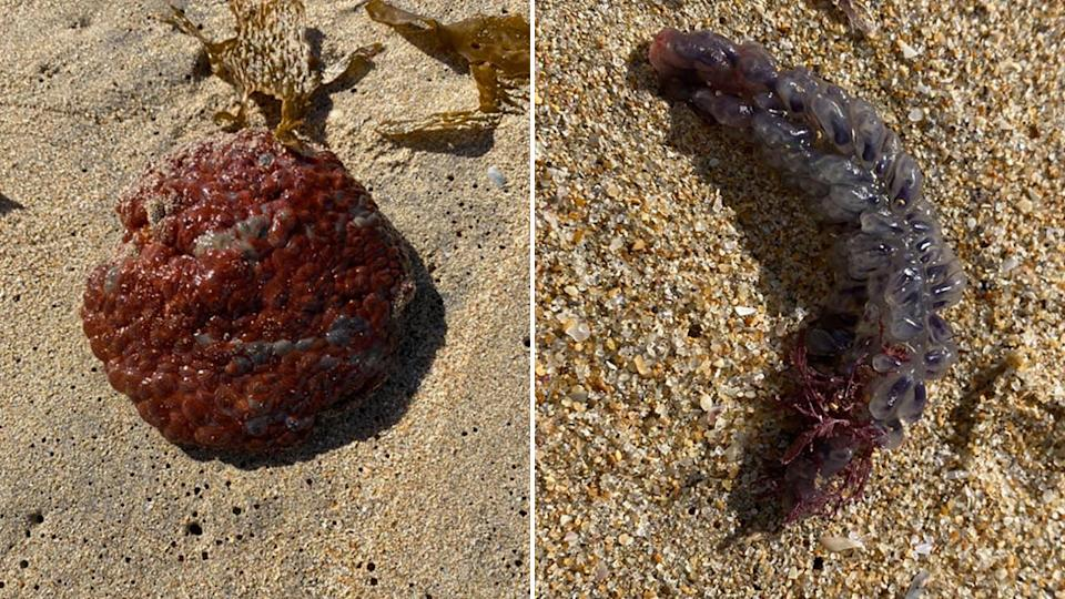 One of the sea creatures was identified as a Wandering Sea Anemone (left) by Macquarie University's Professor Culum Brown and the other as a Colonial Sea Squirt. Source: Facebook