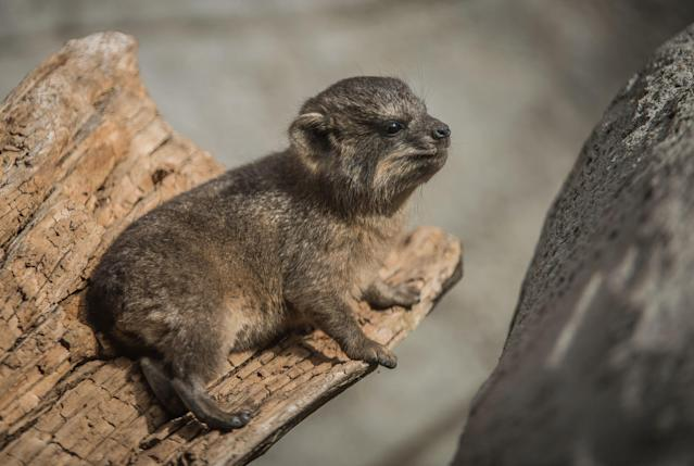 Despite being so tiny, hyraxes are almost fully formed when born (Chester Zoo)