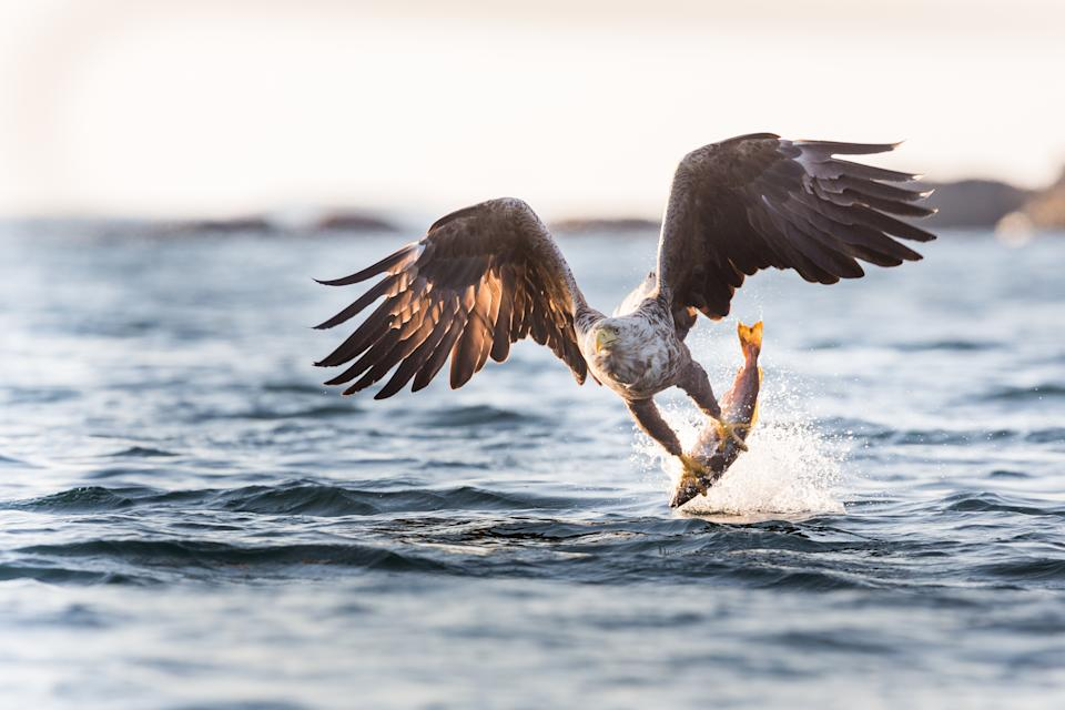 White tailed eagles also inhabit the island. (Getty Images)