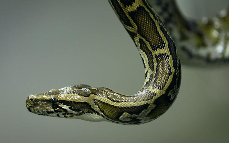 A Burmese python similar to the one on the loose in Cambridge - Getty Images