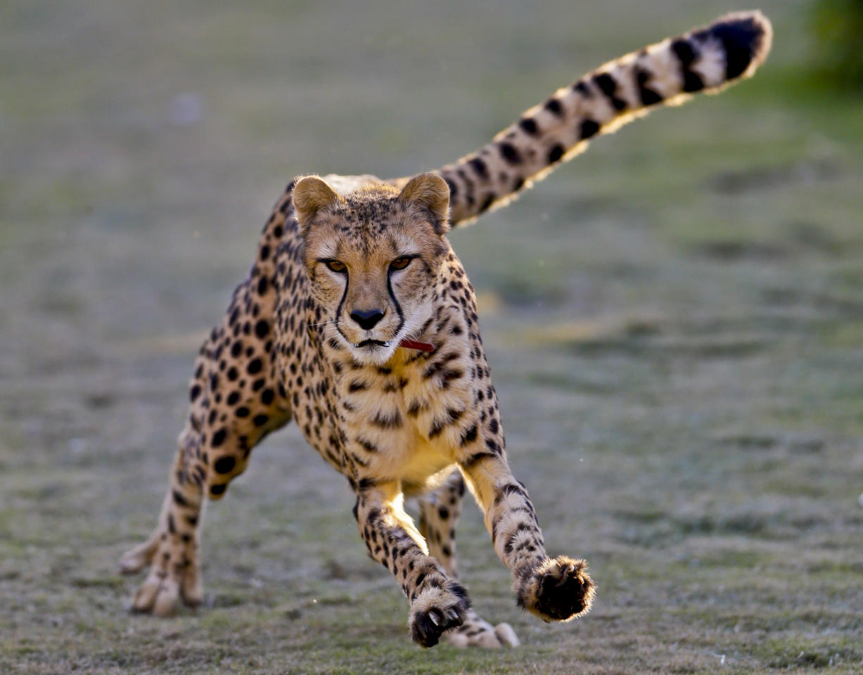 In this Dec. 31, 2012 photo, Johari, a 3-and-half-year-old female cheetah, chases after a mechanized toy during a performance on the Cheetah Run at Safari Park, in Escondido, Calif.  While moving at high speed, Johari is not at full speed, evidence by the fact her ears are visible. Cheetahs use their tails like a rotor to balance while they are running. (AP Photo/Lenny Ignelzi)