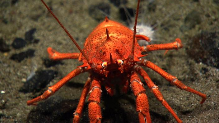 "<span class=""s1"">A squat lobster, which is more closely related to hermit crabs than to true lobsters. (Photo: Atlantic Canyons and Seamounts 2014 Science Team/NOAA Okeanos Explorer Program)</span>"